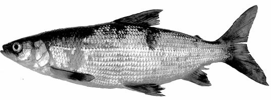 Figure 1: Fresh specimen of a blackfin cisco (Coregonus nigripinnis) caught in the Little Jackfish River in 2004. Photograph courtesy of David Stanley.