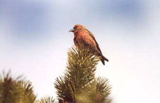 Red Crossbill (Percna subspecies Loxia curvirostra percna)