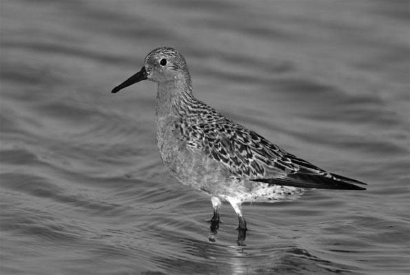 Figure 2: Adult Red Knot in breeding (alternate) plumage.