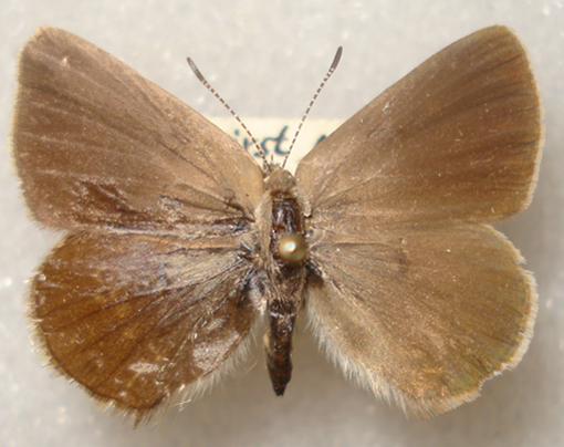 Dorsal wing surfaces of B.C. specimen of Half-moon Hairstreak
