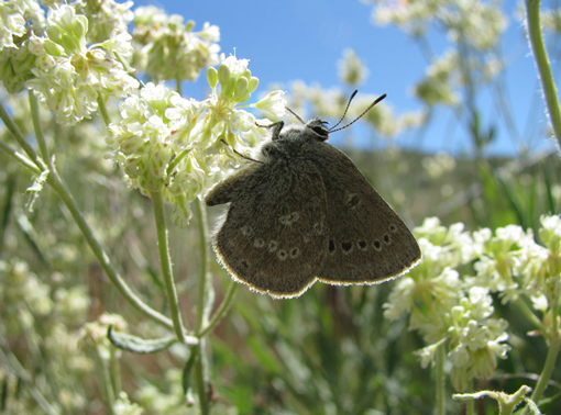 Half-moon Hairstreak nectaring on parsnip-flowered buckwheat