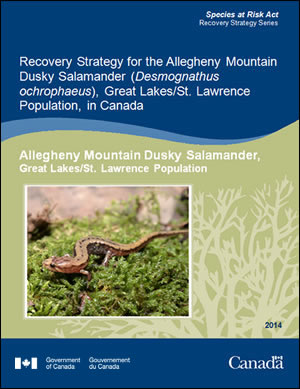 Cover of the publication: Recovery Strategy for the Allegheny Mountain Dusky Salamander (Desmognathus ochrophaeus), Great Lakes/St. Lawrence Population in Canada [PROPOSED] – 2012.