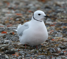 Figure 1.  Ross's Gull (Rhodostethia rosea) © Her Majesty the Queen in Right of Canada (Mark Mallory, Environment Canada).