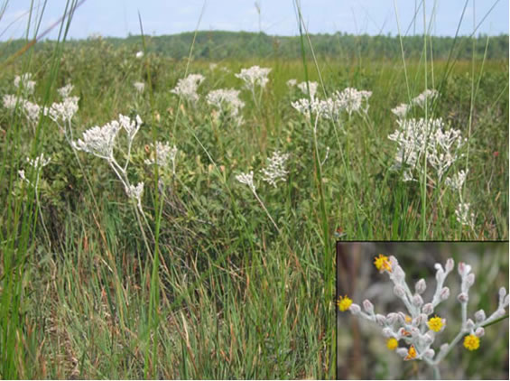 Photo of Goldencrest in natural habitat (a shoreline meadow) showing habit and inflorescence. Several vegetative plants with strap-shaped leaves can be seen in the foreground. An inset photo shows the white-woolly inflorescence with flowers at anthesis. Open flowers are yellow.