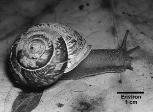 escargot-forestier de Townsend