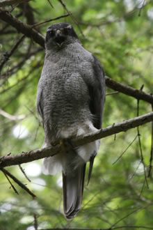 Photo of an adult Northern Goshawk (see long description below).