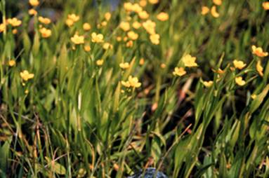 Photo of the Water-plantain Buttercup Ranunculus alismifolius.