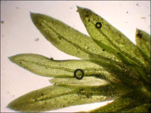Photograph of leaves of the poor pocket moss  and providing a visual representation of the leaf  characteristics for this species of moss.