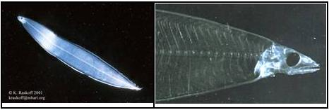 Figure 4. Leptocéphale, stade larvaire (kraskoff@mbari.orget P. Parks [OSF]).