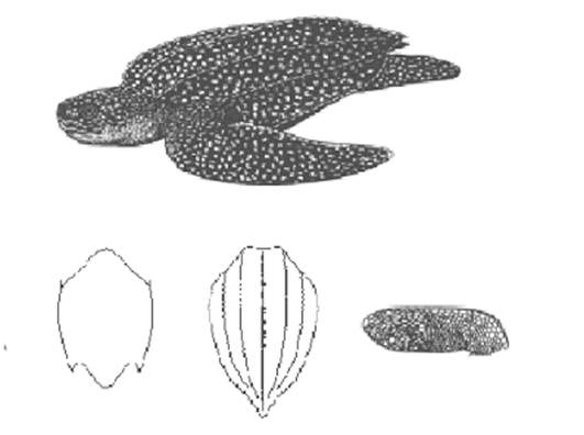 Figure 1.  Schematic depicting a mature adult leatherback turtle and key morphological features.