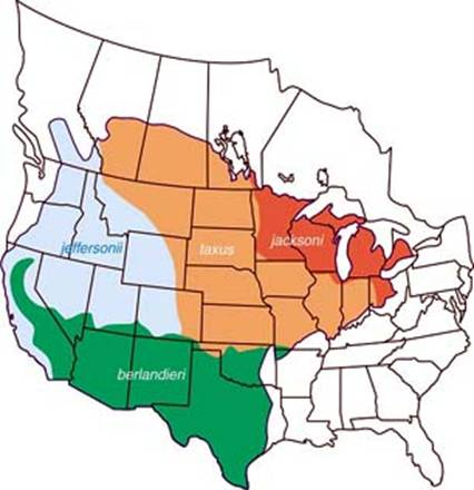 Figure 1 shows the approximate ranges of the four American Badger subspecies in North America. Jacksoni subspecies occurs around the Great Lakes area, taxus subspecies is distributed within central United-States and up to Canadian Prairies, jeffersonii subspecies occurs in western United-States up to British-Columbia and berlandieri subspecies is distributed within west and central southern part of United-States.