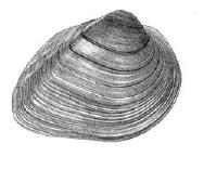 Round Pigtoe (Pleurobema sintoxia) -- line drawing of the external features of the shell (reproduced with permission from Burch 1975).