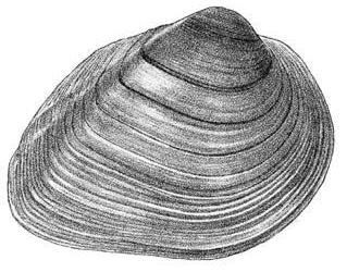 Figure 1A: Line drawing of the external features of the shell of Pleurobema sintoxia. Reproduced with permission from Burch (1975).