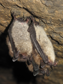 This photograph is of little brown bats in a cave in Jasper National Park.