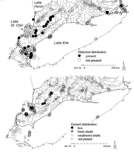 Figure 3: Historical (1890-1990) and current (1991-2001) distributions of Obovaria subrotunda in Ontario(based on records from the Lower Great Lakes Unionid Database).