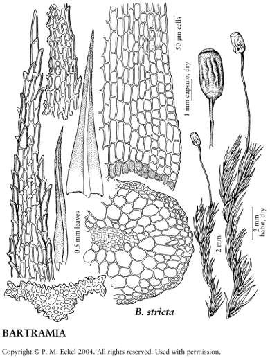 Botanical drawing of a rigid apple moss.