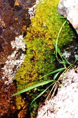 Photograph of rigid apple moss growing on a rock.