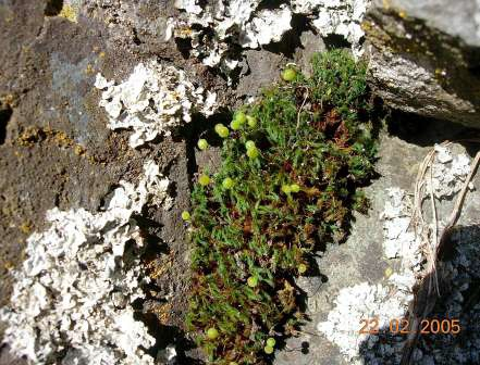 Photograph of rigid apple moss in fruit growing on a rock.