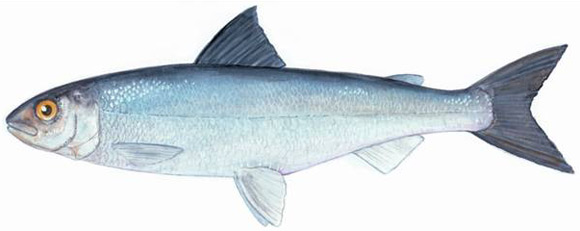 Atlantic Whitefish. Fisheries and Oceans Canada, Maritimes Region.
