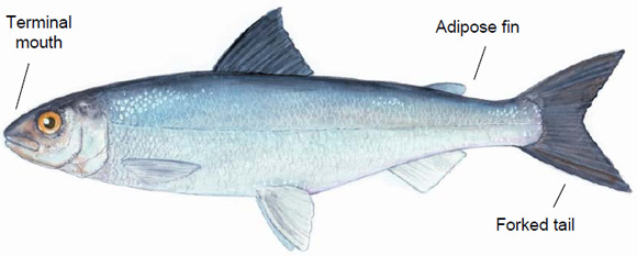 Figure 4. Schematic depicting an adult Atlantic whitefish : location of Terminal mouth, Adipose fin and Forked tail.