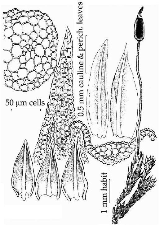 Figure 1: Illustration of plant, leaves, and cell details of B. columbianum from the Bryophyte Flora of North America project.