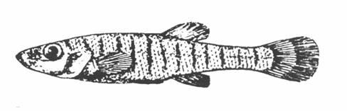 Illustration of the Banded Killifish.
