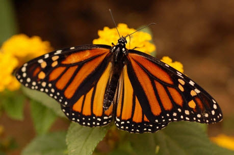 Photo of an adult Monarch, dorsal view