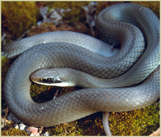 Photo of Blue Racer