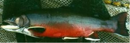Photo of a male Aurora Trout Salvelinus fontinalis timagamiensis (lateral view). Dorsal colouration is olive green to dark brown. Along the sides this fades to steel blue and silver. In this individual the lower sides and abdomen show the bright red colouration typical of the male during the spawning season. The pectoral, pelvic and anal fins have a leading white edge backed by a black bar and an orange or red posterior.