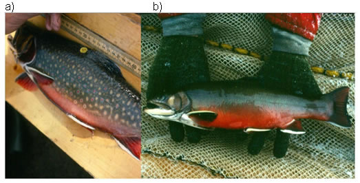 Two-panel photo showing a typical Brook Trout and a male Aurora Trout (see long description below).