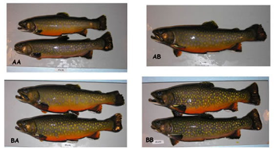 Four photo panels showing Aurora Trout, Brook Trout, and first-generation crosses at five years of age. (see long description below).