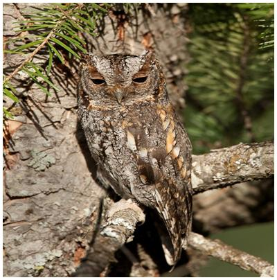 Photo: Flammulated Owl