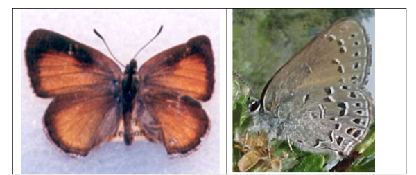 Images of Behr's Hairstreak adult dorsal wing surface and adult ventral wing surface