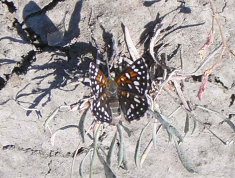 Figure 1.Picture of a Mormon metalmark butterfly on a branched umbrella plant in Grasslands National Park, Saskatchewan, Canada. (Photo by A. Henderson).