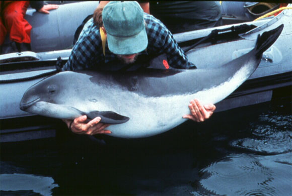 Photo of a harbour porpoise being released from a herring weir in the Bay of Fundy, Canada