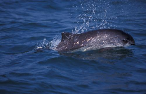 Photo of a harbour porpoise (Northwest Atlantic population). Photograph by: Ari S. Friedlaender, Beaufort, N.C.