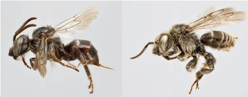 Photos of the female  (left image) and male (right image) Macropis Cuckoo Bee.