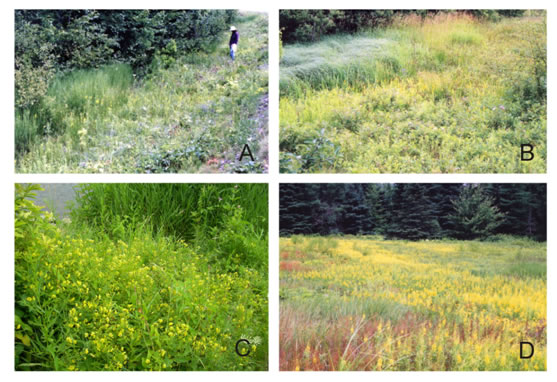 Photos of native Canadian Lysimachia habitats. Images A and B show small populations of Lysimachia terrestris in roadside ditches in King's (Image A) and Yarmouth (Image B) counties, Nova Scotia. Image C shows L. ciliata growing next to a river in Guelph, Ontario. Image D shows a large stand of L. terrestris at the edge of a lowbush blueberry field in Hants County, Nova Scotia.