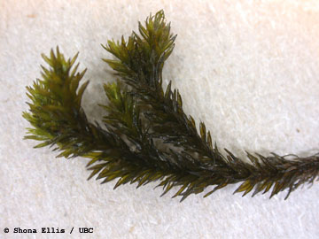 Figure 3. Plant of the Margined Streamside Moss