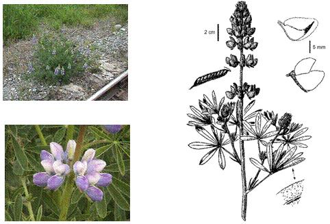 Figure 1. Morphologie du Lupinus rivularis. Clichés de Brian Klinkenberg; dessin reproduit avec la permission  de la University of Washington Press.