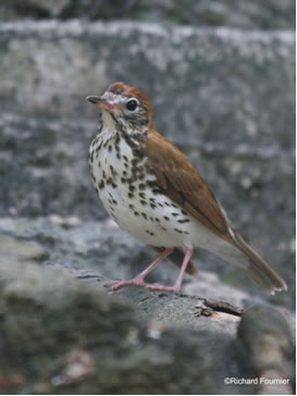 Photo of an adult Wood Thrush Hylocichla mustelinaI standing on a fallen branch, left side view.