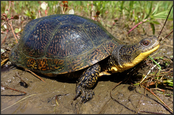 Loons And Turtles And Cranes Oh My >> Species At Risk Public Registry Cosewic Assessment And Status