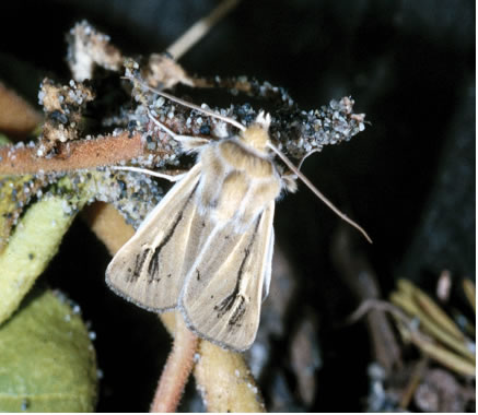 Photo: Sand-verbena Moth