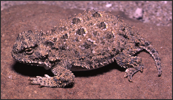 Photo of Pygmy Short horned Lizard