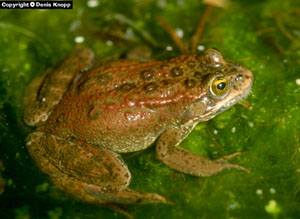 Figure 1. Adult female Oregon Spotted Frog. Photo credit: D. Knopp.