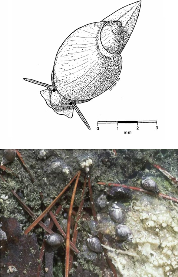 Figure 1. Dessin au trait et photo de physes des fontaines de Banff (Physella johnsoni).