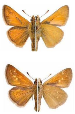 Figure 2. Male (top) and female (bottom) Hesperia dacotae showing dorsal (left) and ventral (right) views. © Chris McQuarrie and R.P. Webster