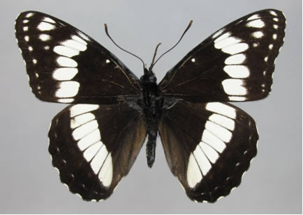 Photo of a male Weidemeyer's Admiral Limenitis weidemeyerii (dorsal view). The wings are black, and a bold white band is present on both the forewing and hind wing. Small white spots run along the outer margins of the wings.