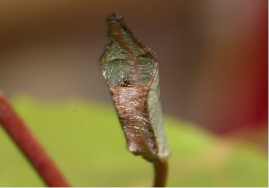 Photo of the hibernaculum of the Weidemeyer's Admiral. The hibernaculum is a rolled-up leaf attached to the stem of the host shrub.