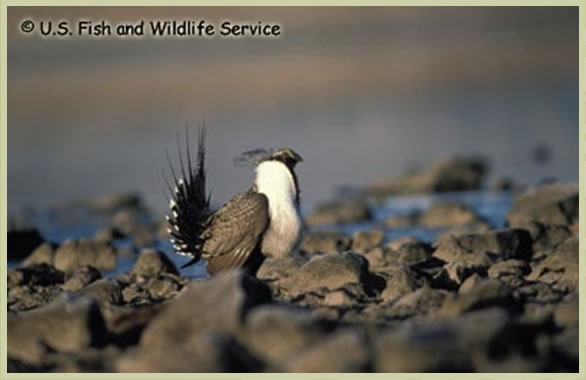 Photo of Greater Sage-Grouse phaios subspecies